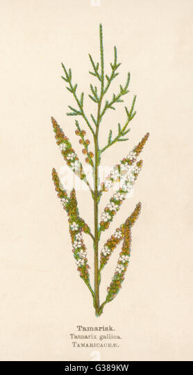 TAMARISK         Date: early 20th century - Stock Image