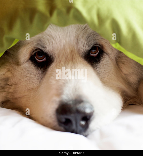 Great Pyrenees dog peeking out from blanket. - Stock Image