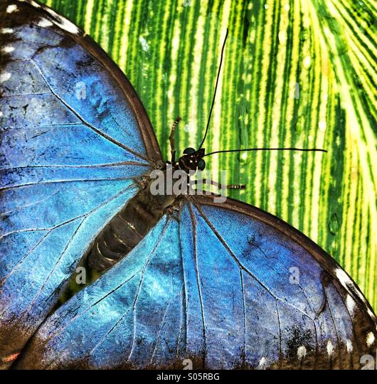 Close up of blue butterfly on green leaf - Stock Image