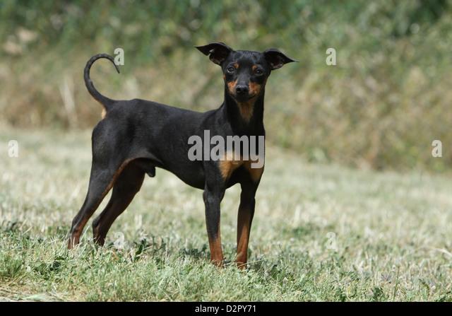 Rattler Dog For Sale