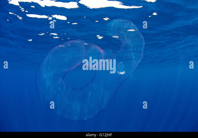 Free-floating colonial Tunicates, Pyrosoma, Indian Ocean, Sri Lanka - Stock Image