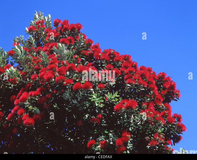 Native Pohutukawa tree flowers, Sumner, Christchurch, Canterbury Region, New Zealand - Stock Image