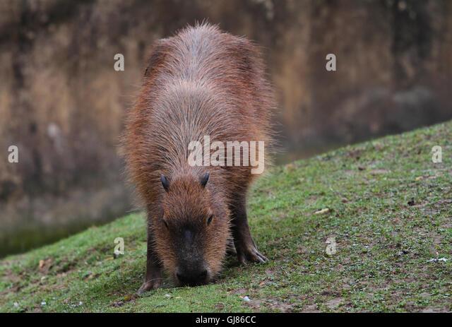 Capybara (Hydrochoerus hydrochaeris) - Stock Image