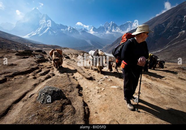 A trekker in Nepal looks over his shoulder at the approaching yak train. - Stock Image