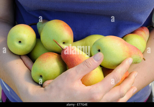 bundle of ripe pears in woman hands - Stock-Bilder