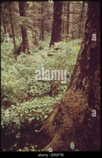 coastal sitka spruce - photo #15