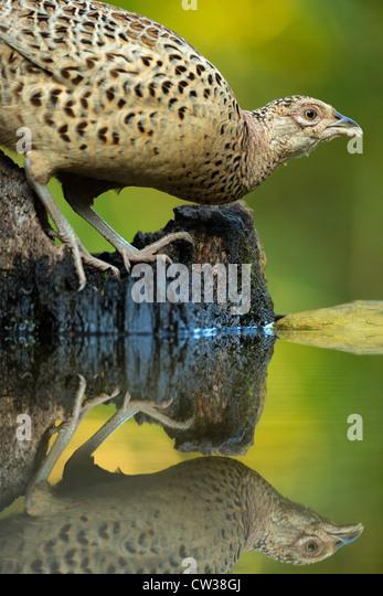 Common Pheasant female(Phasianus colchicus)Hungry - Stock-Bilder