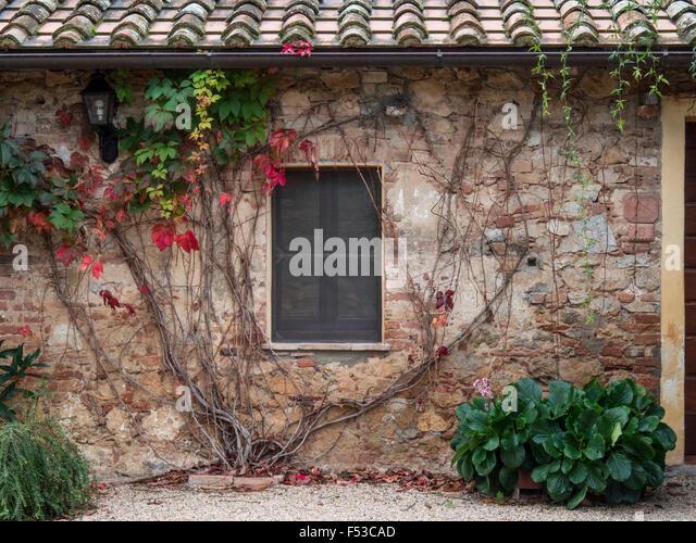Europe, Italy, Tuscany.  Ivy growing on the wall at Sant'Anna in Caprena, a former Benedictine Monastery Olivetano - Stock-Bilder