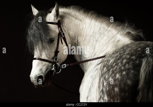 Andalusian horse portrait - Stock Image