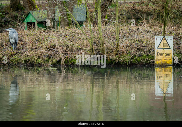Melton Mowbray 12th January 2018 : Damp cold day with high levels of water Robins and Grey Heron hunting for food - Stock Image