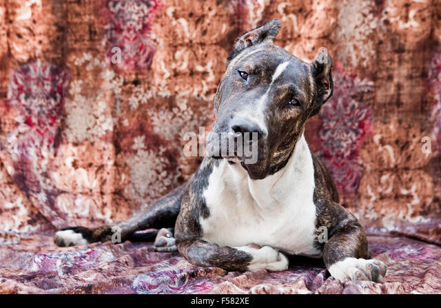 Adult Cane Corso dog laying down on a multi-colored fabric backdrop facing camera with eye contact and a cocked - Stock Image