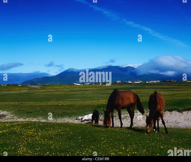 Co Kerry, Horses In Kilshannig Near Castlegregory, Ireland - Stock Image