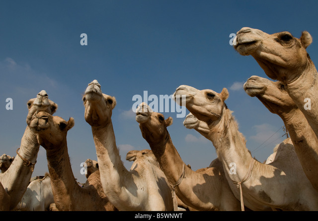 The Birqash Camel Market ( Souq al Gamaal ), 35 km north of Cairo. Egypt - Stock Image