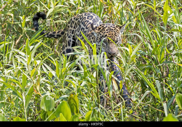 Jaguar (Panthera onca palustris) adult, killing Yellow Anaconda (Eunectes notaeus) prey in reeds, Corixo Negro, - Stock-Bilder