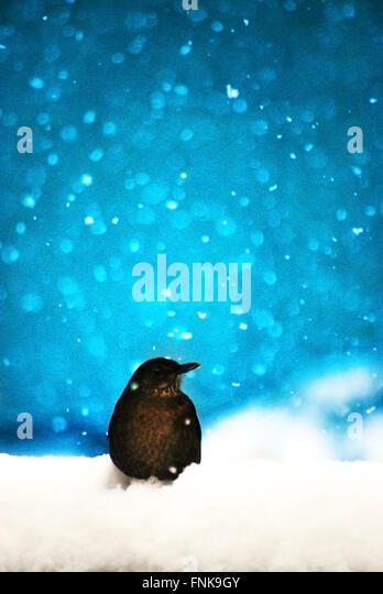 bird sitting in snow - Stock Image