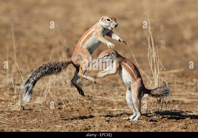 Two ground squirrels (Xerus inaurus) playing, Kalahari desert, South Africa - Stock Image