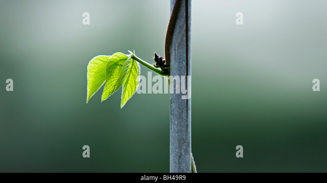 A runner bean leaf on a stem - Stock Image