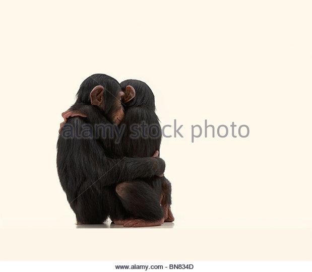Chimpanzees - Stock Image