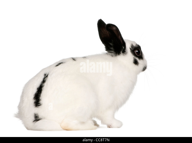 Dalmatian rabbit, 2 months old, Oryctolagus cuniculus, in front of white background - Stock Image