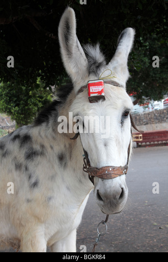 A donkey tied to a tree by the roadside with a tin for donations strapped to its forehead near Tamaimo - Stock-Bilder