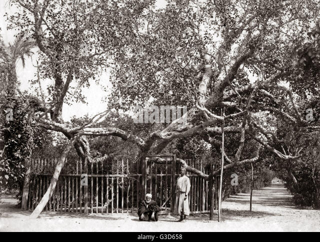 Old Olive tree in the Garden of Gethsamane 1800s.     Date: 1800s - Stock-Bilder
