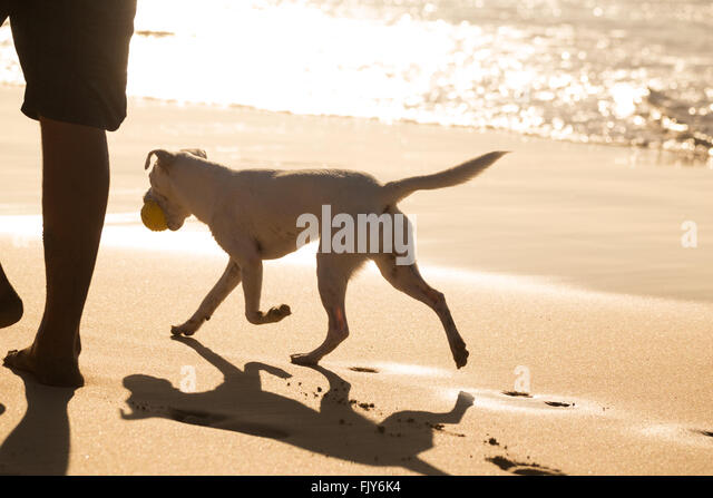 Dog carrying ball on beach in summer. - Stock Image