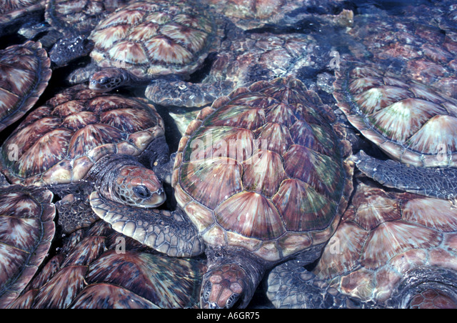 Green Sea Turtles Bunched in a Tank Grand Cayman Turtle Farm - Stock Image