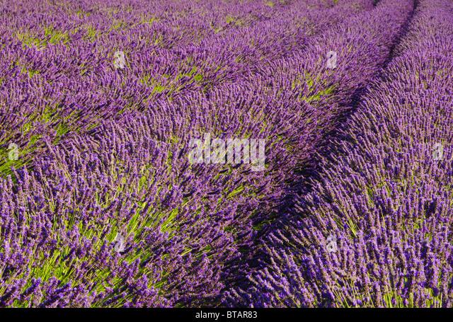 Pelindaba Lavender Farm, San Juan Island, Washington. - Stock Image