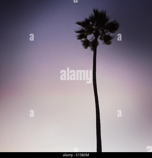 A single palm tree at sunset. Manhattan Beach, California USA. - Stock Image