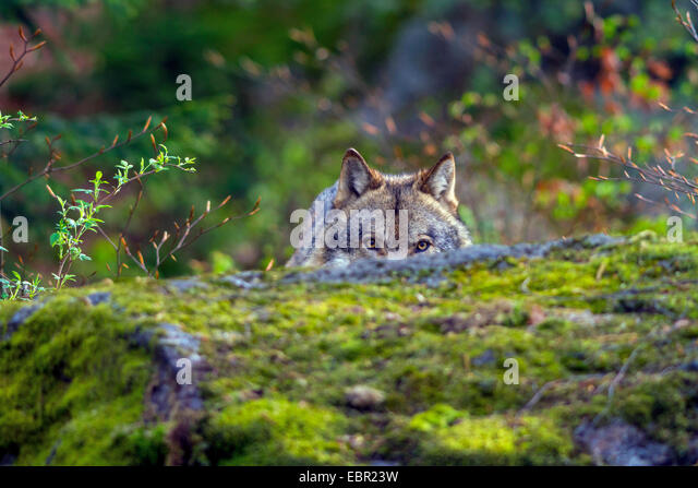 European gray wolf (Canis lupus lupus), peering behind a rock, Germany, Bavaria, Bavarian Forest National Park - Stock Image