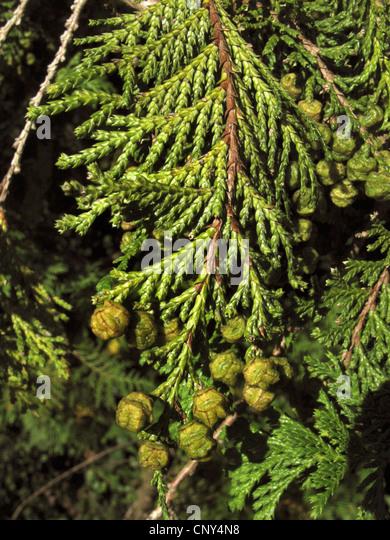sawara falsecypress (Chamaecyparis pisifera), branch with unripe cones - Stock Image
