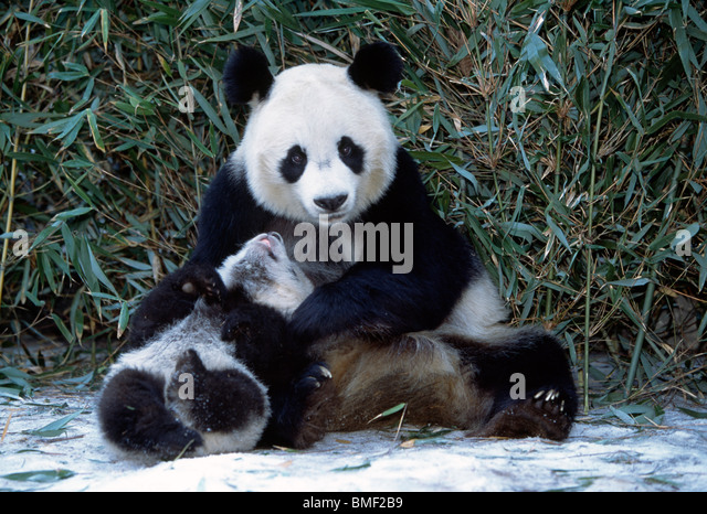Giant Panda mother and cub, Sichuan, China - Stock Image
