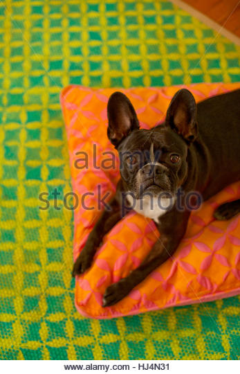 Leica the French Bulldog - Stock Image