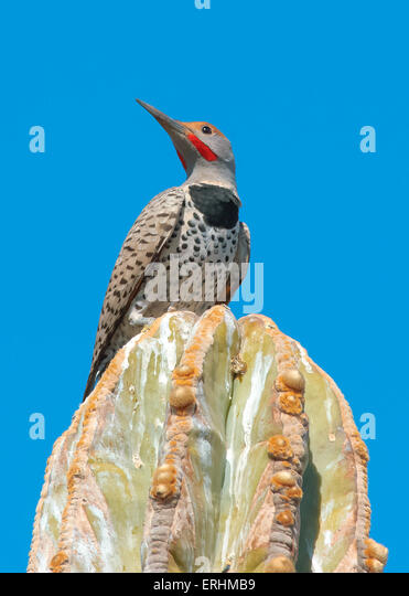 Male Gilded Flicker Woodpecker, on a cactus, Arizona, USA - Stock Image