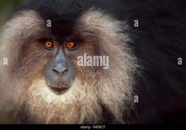 Lion-tailed macaque (Macaca silenus) female portrait. Anamalai Tiger Reserve, Western Ghats, Tamil Nadu, India. - Stock Image