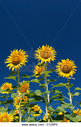 Cultivation of sunflowers in the Indian countryside, Andhra Pradesh, India - Stock-Bilder