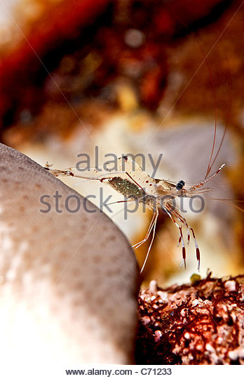 Sea shrimp carrying eggs - Stock Image