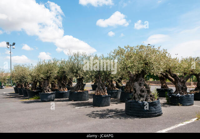 Gnarled trees stock photos gnarled trees stock images for Fertilizing olive trees in pots