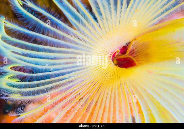 feather duster worms, Sabellastarte japonica Marenzeller, at Owase, Mie Japan. Depth 7m. close up. - Stock Image