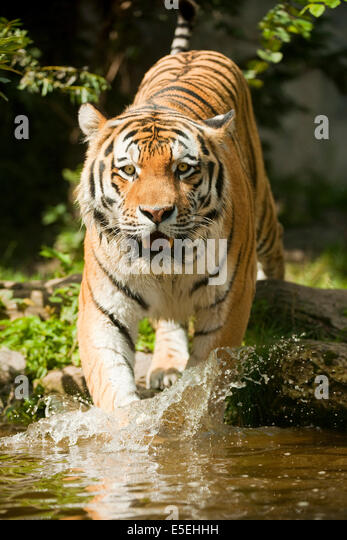 Siberian Tiger or Amur Tiger (Panthera tigris altaica) running into the water, captive, Saxony, Germany - Stock Image