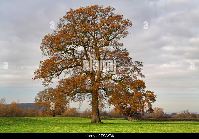 Oak tree on the River Severn floodplain. The River Severn is 350km long and flows from its source in the Cambrian - Stock Image