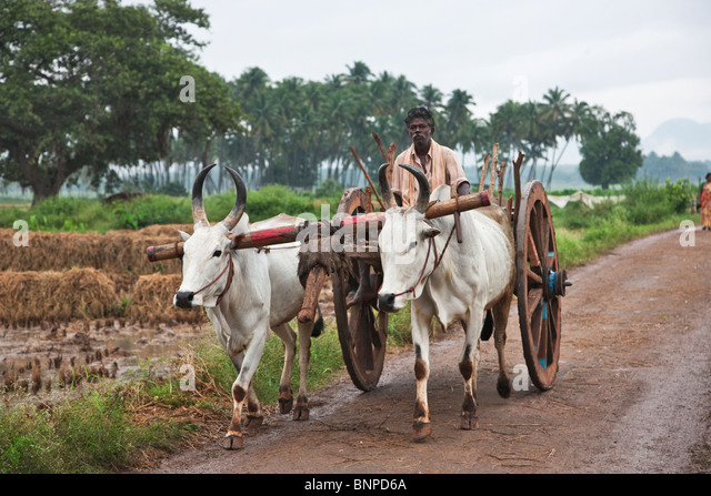 Zebu,( Bos primigenius indicus) or (Bos indicus), are a type of domestic cattle that are highly adapted to high - Stock Image