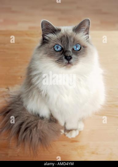 Sacred cat of Burma - sitting - Stock Image