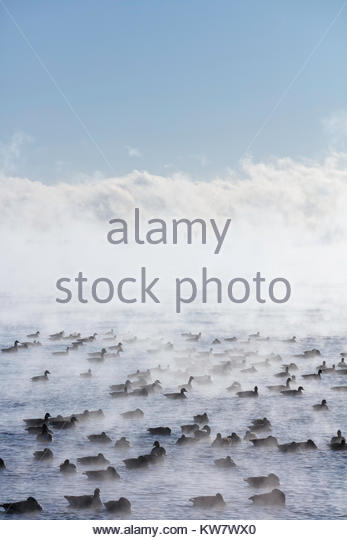 flock-of-overwintering-canada-geese-amon