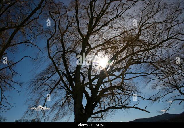 Sun shining through silhouette of bare tree limbs. - Stock Image