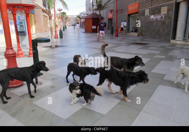 Chile Arica Paseo Peatonal 21 de Mayo pedestrian mall Hispanic man stray dogs animal behavior pack mutt - Stock Image