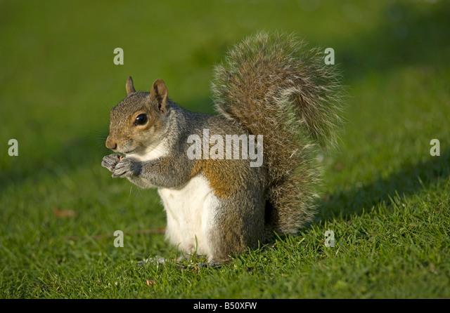 Grey squirrel Sciurus carolinensis foraging at dusk - Stock Image