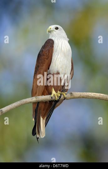 Brahminy Kite - Haliastur indus - Stock-Bilder