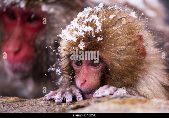 Baby Snow Monkey - Stock-Bilder