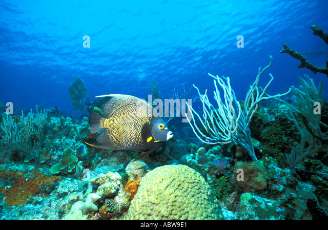 French angelfish swimming over coral reef Caribbean island of Tobago underwater brain coral - Stock Image